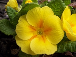 yellow_primrose_by_dlphnz13