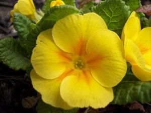 yellow_primrose_by_dlphnz13