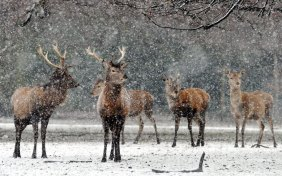 Deer-brave-the-weather-in-003